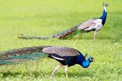 Pavoni blu Fotografia Stock