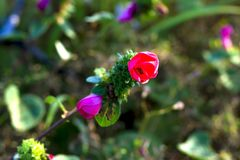 Pavonia与绿色的rigida花 库存照片