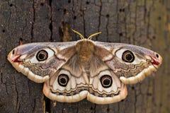 Pavonia di saturnia (il piccolo lepidottero di imperatore) - farfalla Fotografie Stock Libere da Diritti