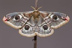 Pavonia di saturnia (il piccolo lepidottero di imperatore) - farfalla Immagine Stock Libera da Diritti