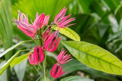 Pavonia multiflora flower,Brazilian Candles,MALVACEAE. Plant Stock Photo
