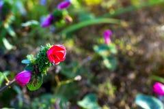 Pavonia rigida和绿色背景 库存图片
