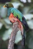 Pavonine Quetzal (Pharomachrus pavoninus) Stock Images