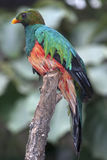 Pavonine Quetzal (Pharomachrus pavoninus) Stockbilder