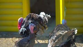 Pavos libres de la gama en granja en pueblo Turquía-gallo, pavo Yarda de las aves de corral, cultivando, producción de las aves d almacen de metraje de vídeo