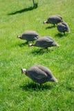 Pavos punteados gris al aire libre Imagen de archivo