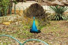 Pavos reales coloridos en un jardín Foto de archivo