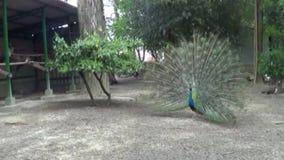 Pavos reales del verde del árbol del paisaje de la escena de la naturaleza del parque almacen de metraje de vídeo