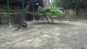 Pavos reales del verde del árbol del paisaje de la escena de la naturaleza del parque metrajes
