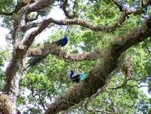 Pavos reales en un parque del pájaro en Fort Lauderdale Imagen de archivo libre de regalías