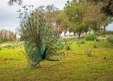 Pavos reales que caminan en el jardín en el soporte Filerimos, Rodas, Greec Fotos de archivo libres de regalías