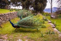 Pavos reales que caminan en el jardín en el soporte Filerimos, Rodas, Greec Foto de archivo
