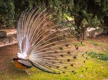 Pavos reales que caminan en el jardín en el soporte Filerimos, Rodas, Greec Fotografía de archivo