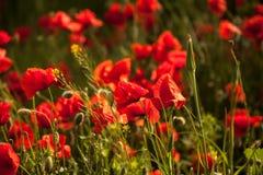 Pavot à opium Image libre de droits
