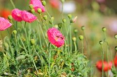 Pavot à opium avec l'abeille Photos stock