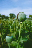 Pavot à opium, gisement d'opium, [Papaver somniferum] Photos libres de droits