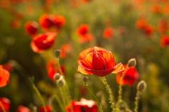 Pavot à opium - macro Photos libres de droits