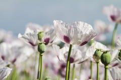 Pavot à opium, Papaver somniferum images stock
