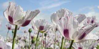 Pavot à opium, Papaver somniferum photos libres de droits