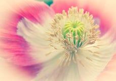 Pavot à opium rose photos libres de droits