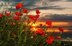 Pavot au lever de soleil Photographie stock libre de droits