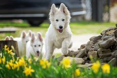 Pavot blanc de berger allemand de Berger Blanc Suisse images libres de droits