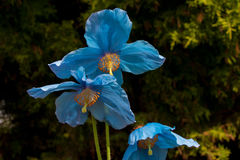 Pavot bleu Images stock