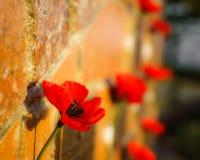 Pavot commémoratif sur le mur image libre de droits