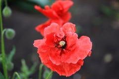 Pavot décoratif dans le jardin Photos stock