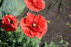 Pavot décoratif dans le jardin Photographie stock