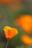 Pavot d'or de la Californie Photos stock