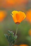 Pavot d'or de la Californie Photo stock