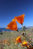 Pavot d'or de la Californie, Big Sur, la Californie, Etats-Unis Photo libre de droits