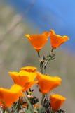 Pavot d'or de la Californie, Big Sur, la Californie, Etats-Unis Photos libres de droits