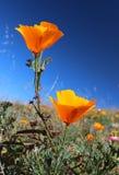 Pavot d'or de la Californie, la Californie, Etats-Unis Image stock