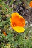 Pavot d'or de la Californie, la Californie, Etats-Unis Photographie stock libre de droits
