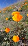 Pavot d'or de la Californie, la Californie, Etats-Unis Photographie stock