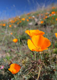 Pavot d'or de la Californie, la Californie, Etats-Unis Images stock