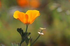 Pavot d'or de la Californie, la Californie, Etats-Unis Photo stock