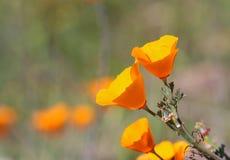 Pavot d'or de la Californie, la Californie, Etats-Unis Photos libres de droits