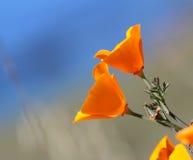 Pavot d'or de la Californie, la Californie, Etats-Unis Photo libre de droits