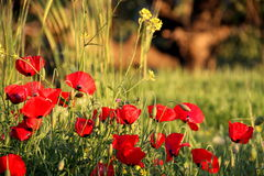 Pavot dans l'herbe Photo libre de droits