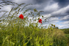 Pavot dans l'herbe contre le ciel nuageux Image stock