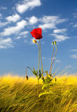Pavot dans le domaine de blé Photos libres de droits