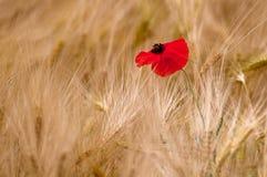 Pavot dans un domaine de blé photo libre de droits