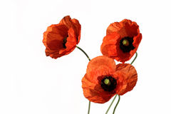 pavot de fleur Photographie stock libre de droits
