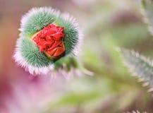 Pavot de fleur Images stock
