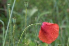 Pavot de fleur fleurissant sur le fond vert photographie stock libre de droits