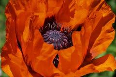 Pavot de floraison Photographie stock libre de droits