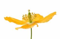 Pavot de jaune ou de gallois Photographie stock